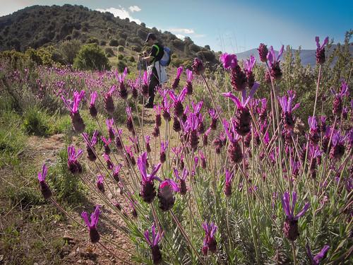 Cantueso (Lavandula Stoechas)  en la Sierra de Algairén