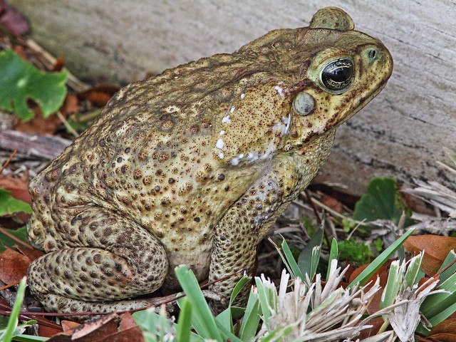 Cane Toad 2-20140416