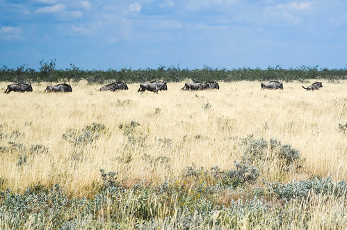 Buffaloes running to the waterhole, Etosha NP