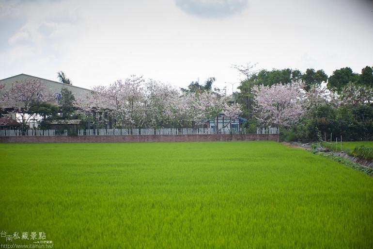 台南私藏景點--台1線花旗木 (3)