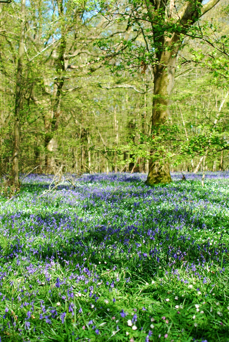chambray and curls bluebells carpeting the forest floor