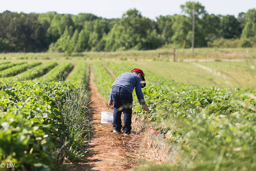 southern belle farm strawberries-10