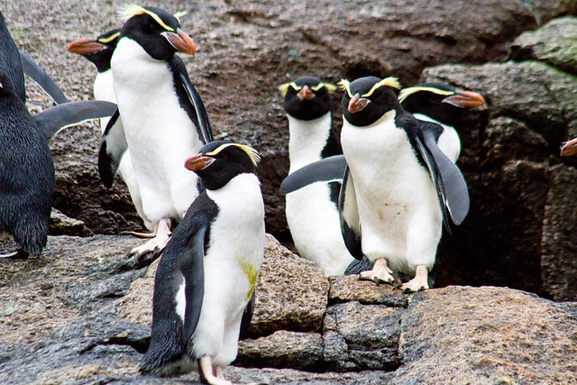 33588-Snares-Crested-penguins