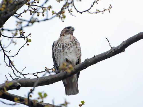 JHW Hawk (8412)