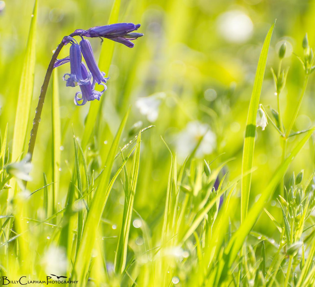 bluebell flower macro sun