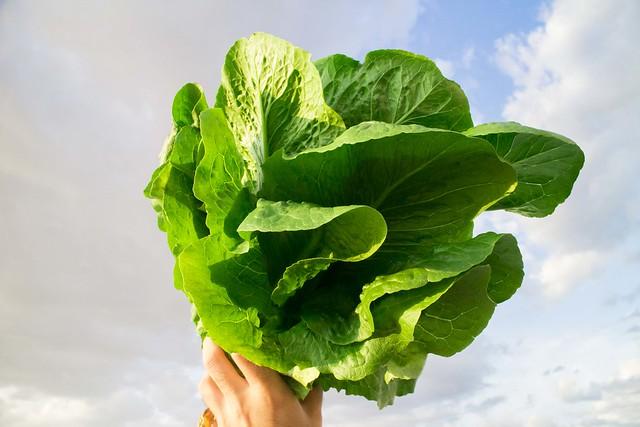 Lettuce Harvest_2