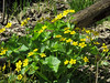 Marsh marigold in Woods