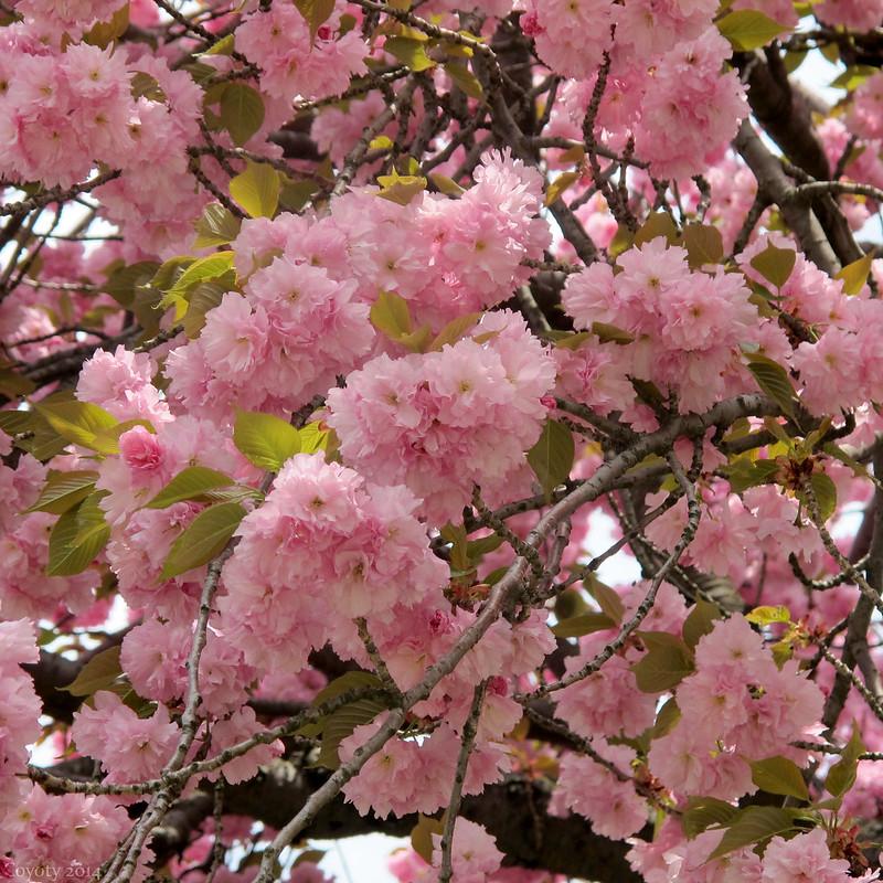 Flowering cherry, flowering.