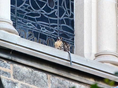 Cathedral Hawk Fledgling (1730)