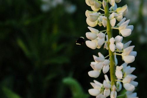 Bee Pollenating Lupine