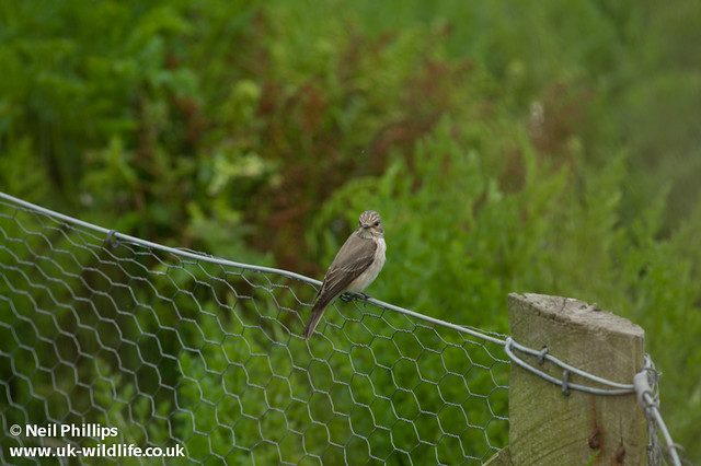 spotted flycatcher uncropped