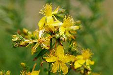 230px-Saint_johns_wart_flowers