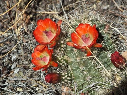 Red Hedgehog cactus, Aguirre Springs