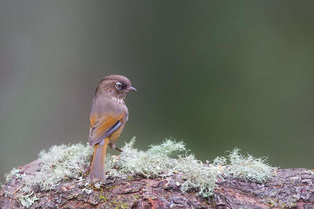 褐頭花翼-1121