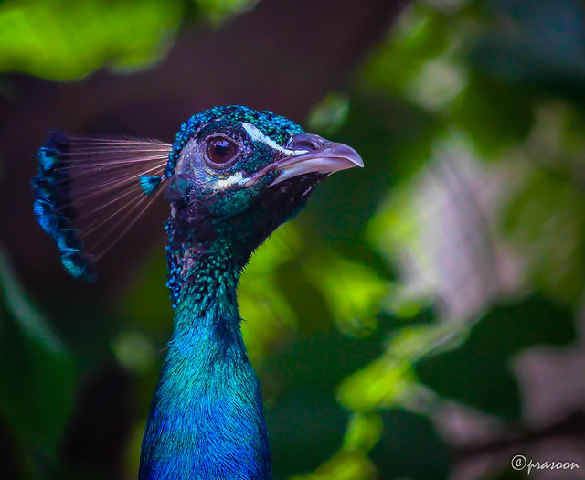 The Vanity of the Indian Peafowl
