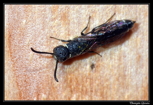 Sapygina decemguttata, parasitoïde de Heriades truncorum