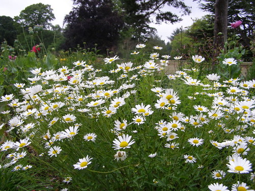Daisies in the Herbaceous Borders © Nigel Philpott