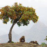 Gelada Baboons Under a Tree - Simien Mountains, Ethiopia