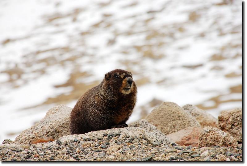 Marmot along #5 road