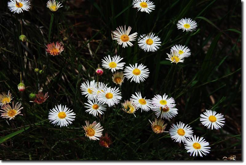 Trailing daisy 2