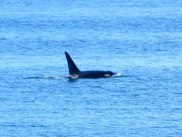 hello, orca