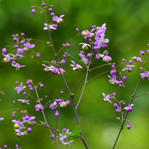 flower yellow flora purple lavender wildflower thalictrum meadowrue