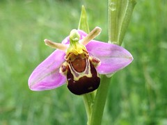 nectar(0.0), wildflower(0.0), flower(1.0), ophrys insectifera(1.0), plant(1.0), flora(1.0), ophrys(1.0),