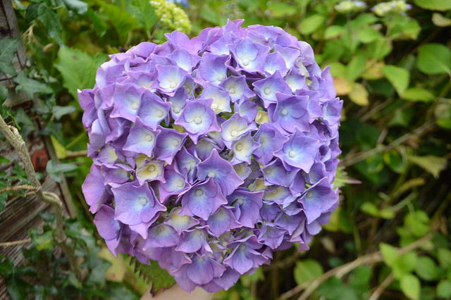 This is a photo of purple Hydrangea plant.