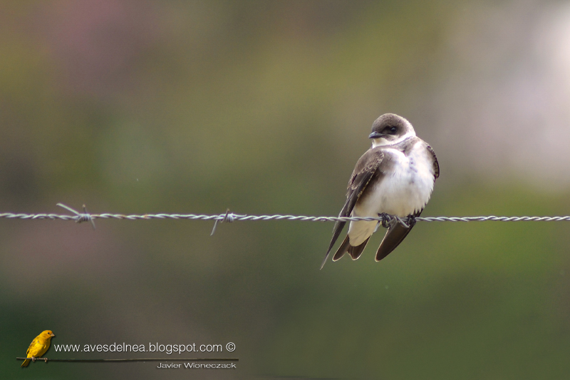 Golondrina parda (Brown-chested Martin) Progne tapera