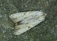 2322 Light Arches - Apamea lithoxylaea