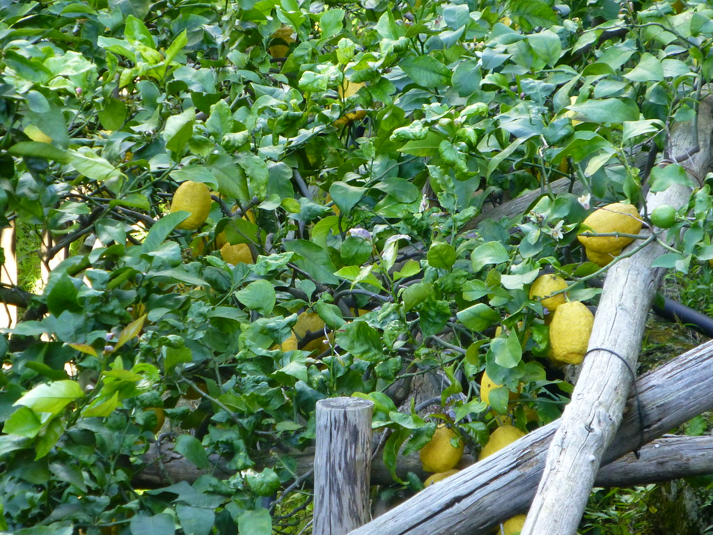 Lemon groves