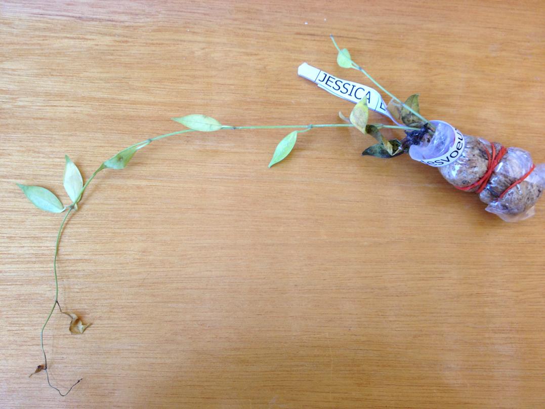 Hoya desvoeuxensis (H. megalantha pink) (EPC 684)