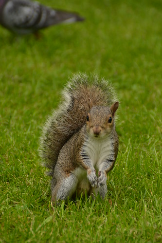 466 - Edinburgh - botanic gardens - Squirrel