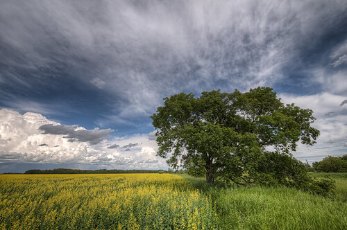 sky tree field clouds springfield hdr canola dugald southernmanitoba nikkor1024mm morrismulvey