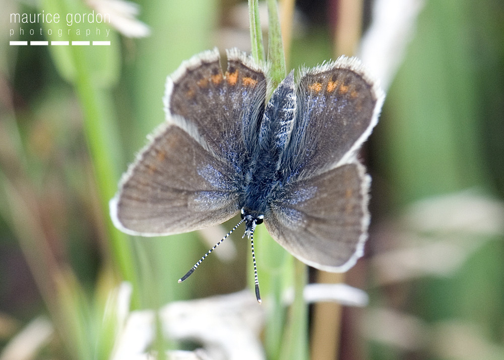 silver-studded-blue-1253