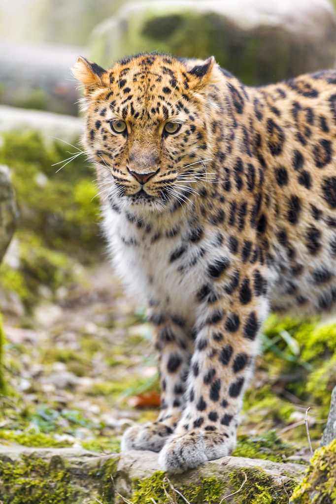 Standing Amur leopard