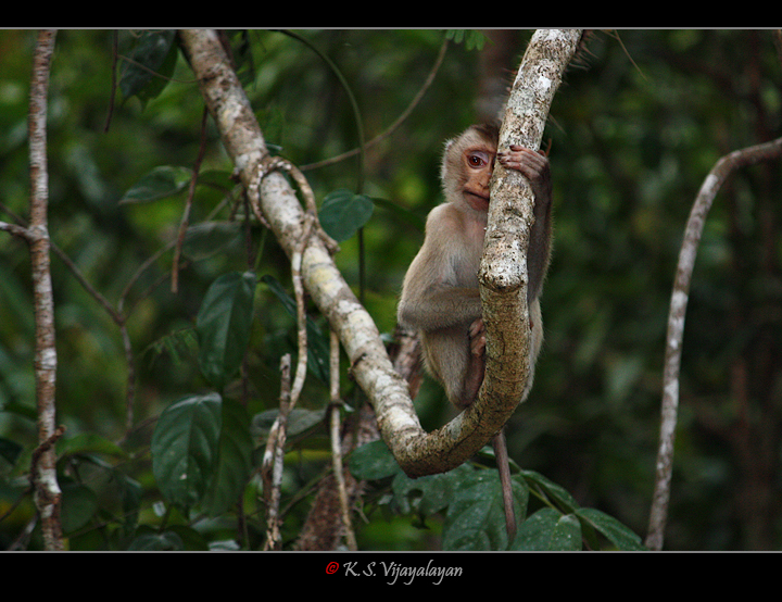 Northern Pig-tailed Macaque, Thailand