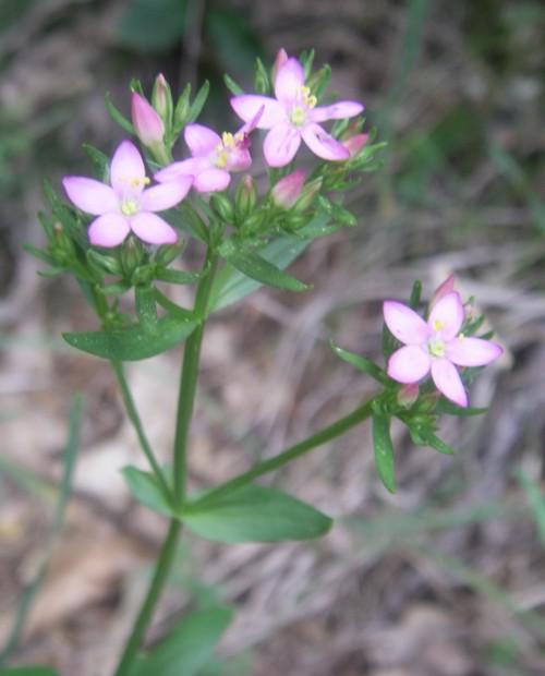 Centaurium erythraea 14508403941_ed94d05e49_o