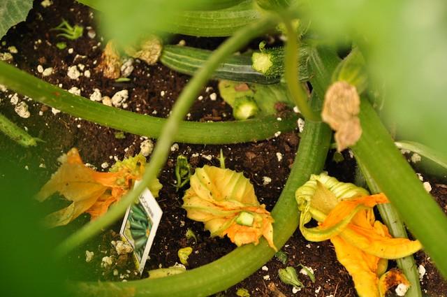 zucchini carnage
