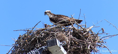 """Osprey Nest Above High Energy Pole on Rte. 47"""
