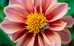 Dahlia with Bee; Dahlie mit Biene (16:10)