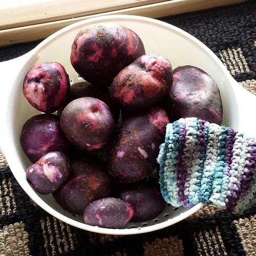 Purple Viking, 1st harvest / one plant made about 10# of taters.