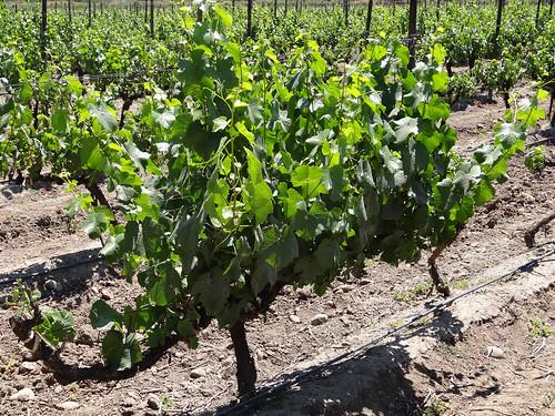 santiago chile wine vineyard vitisvinifera vitaceae angiosperm floweringplsnts