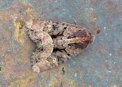 2343x Common Rustic - Mesapamea secalis agg.