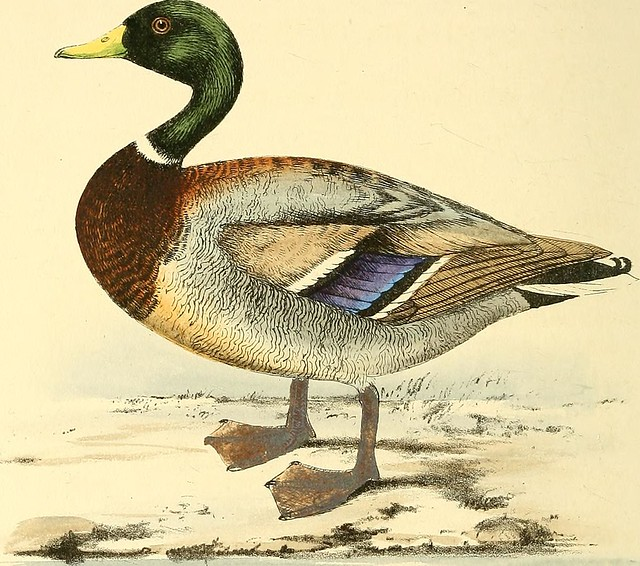 "Image from page 151 of ""Coloured illustrations of British birds, and their eggs"" (1842)"