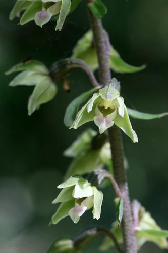 Violet Helleborine, Epipactis Purpurata