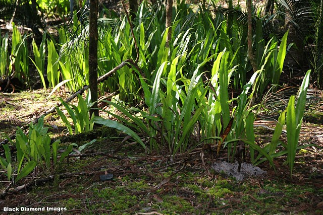 Microsorum punctatum - Climbing Birds Nest fern, Central Station, Fraser Island (K'gari), SE Queensland.
