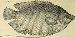 "Image from page 249 of ""The natural history of fishes, amphibians, & reptiles, or monocardian animals"" (1838)"