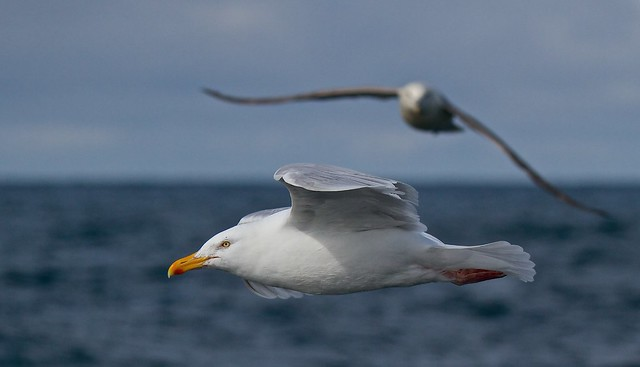 Didysis poliarinis kiras ( Larus hyperboreus) Glaucous Gull - IMG_7657