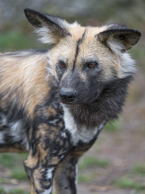 Last wild dog photo!